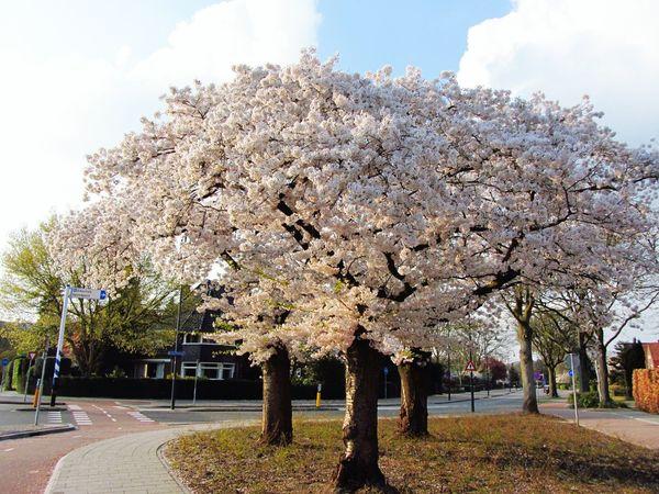 Cherry Blossom Trees Sky And Clouds Springtime in Helmond