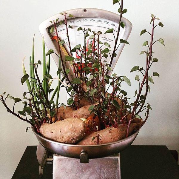 Sorpresas que te llevas cuando visitas la casa de un amigo. Son preciosas las patatas dulces germinadas. Germinados Patata Patatadulce Bascula Vintage Crazy Lovely Todotoño Todoto