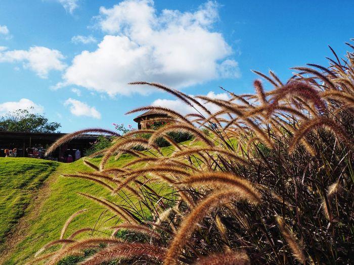 Flower Grass Cogon Blady Grass Fountain Grass Agriculture Rural Scene Field Sky Cloud - Sky Plant Farmland
