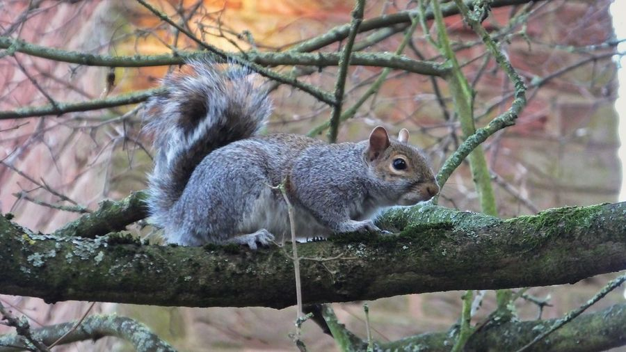 Close-up of squirrel on bare tree branch