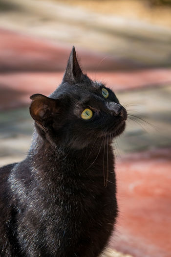 Black cat running towards the camera Black Cat Cats Whiskers Pets Corner Whiskers Animal Themes Black Cat Photography Black Cats Black Color Cat Cat Ear Cats Day Domestic Animals Domestic Cat Ears Feline Green Eyes Mammal Nature No People One Animal Outdoors Pets Portrait Whisker