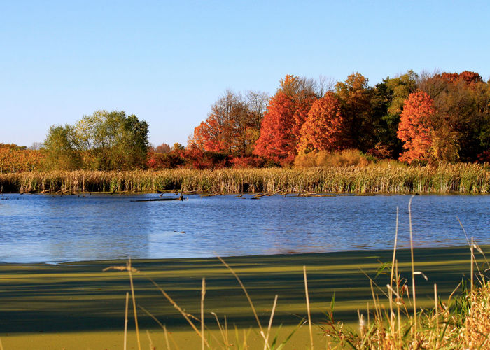 Small lake in Indiana forest during autumn season with fall colors. Autumn Colors Grass Pond Swamp Algae Water Autumn Beauty In Nature Blue Water Blue Sky Clear Sky Day Forest Grass Growth Lake Nature No People Outdoors Plant Scenics Sky Tranquil Scene Tranquility Tree Tree Lined Water