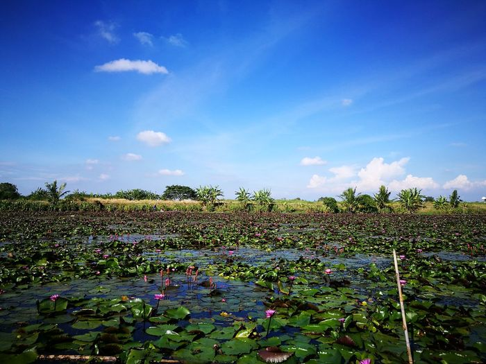 Lotus Flower Sky Nature Cloud - Sky Plant Blue No People