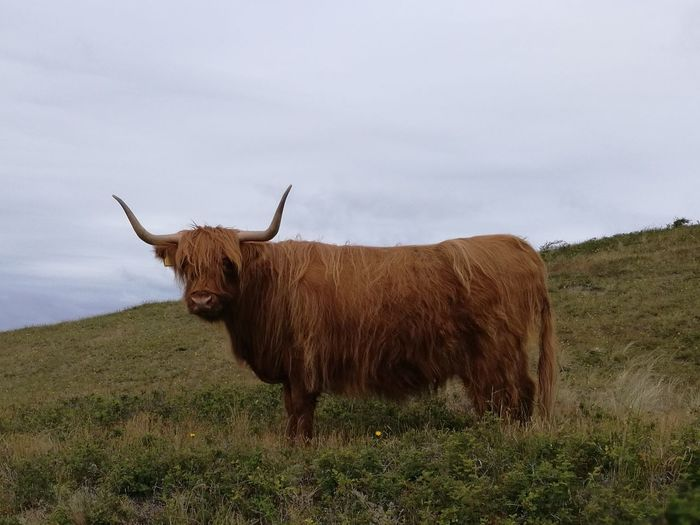 Highland Cattle Standing Agriculture Animal Hair Hill Grass Cow Grazing Herbivorous