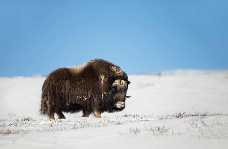 Side view of mammal standing on snow during winter