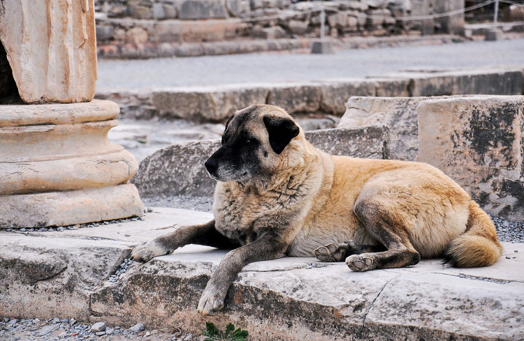 Wild dog in Ephesus, Turkey Ancient Civilization Ancient History Ancient Ruins Animal Themes Animal Wildlife Animals In The Wild Dogy Ephesue Ephesus Ephesus - Turkey Ephesus Ruins Mammal Nature No People One Animal Outdoors Rock - Object Tourist Travel Turkey Wild Dog
