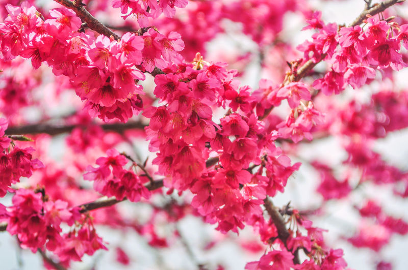 Beautiful cherry blossom sakura in spring time over bright sky. Flower Plant Beauty In Nature Flowering Plant Freshness Growth Pink Color Fragility Close-up Vulnerability  Branch Tree Selective Focus Nature Blossom Day No People Springtime Petal Outdoors Flower Head Bunch Of Flowers Cherry Blossom Cherry Tree Spring