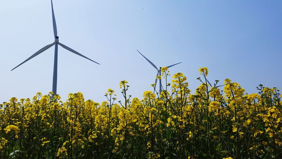 Low angle view of windmills in rapeseed farm against clear sky