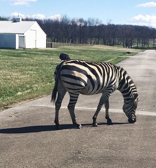 Zebra standing on road by house against sky