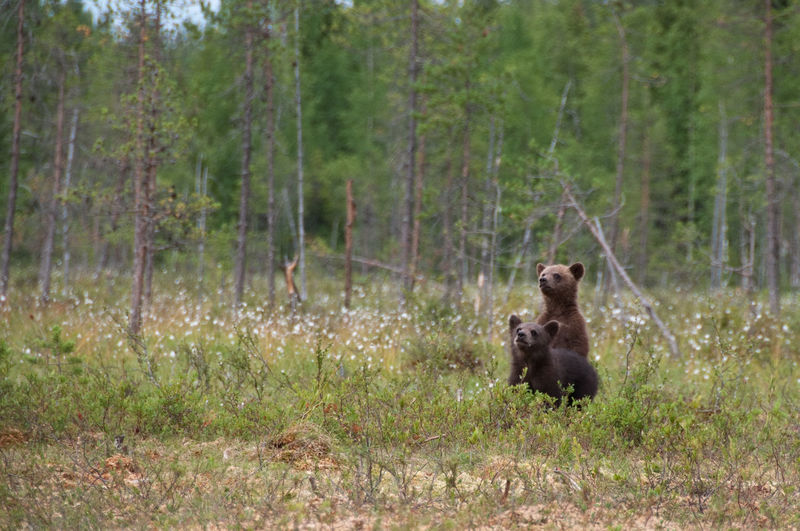 Bear cubs on grassy field at forest