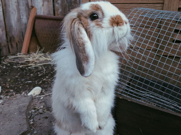 Animal Themes Domestic Animals Pets Mammal Indoors  Day No People One Animal Rabbit Bunny  House Rabbit Mini Lop Lion Head Hare Nature Portrait Eye Outdoors Cage Close-up