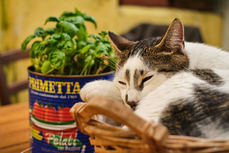 Close-up of a cat resting in basket