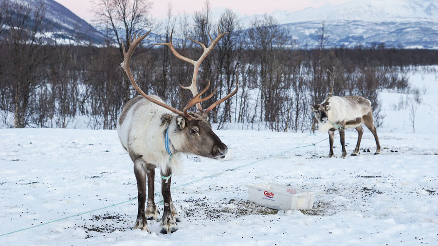 true hero of the Arctic Norway Arctic Reindeer Tromsø Winter Travel Travel Photography Sony A6000 Sonyalpha Winter Snow Cold Temperature Animal Wildlife Animals In The Wild Animal Nature Outdoors Frozen Animal Themes Mammal