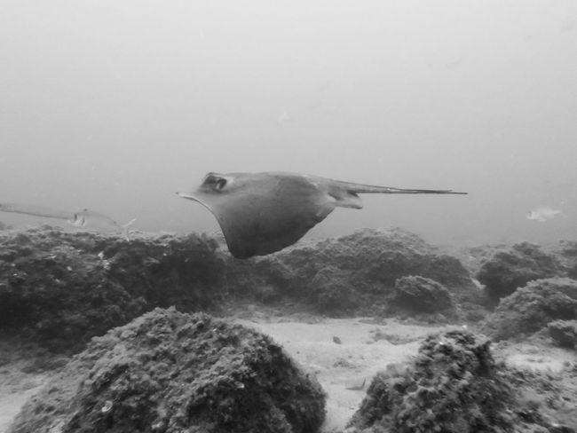 Animal Beauty In Nature BSAC Monochrome Nature SCUBA Stingray Tranquility Underwater Photography Water Wildlife