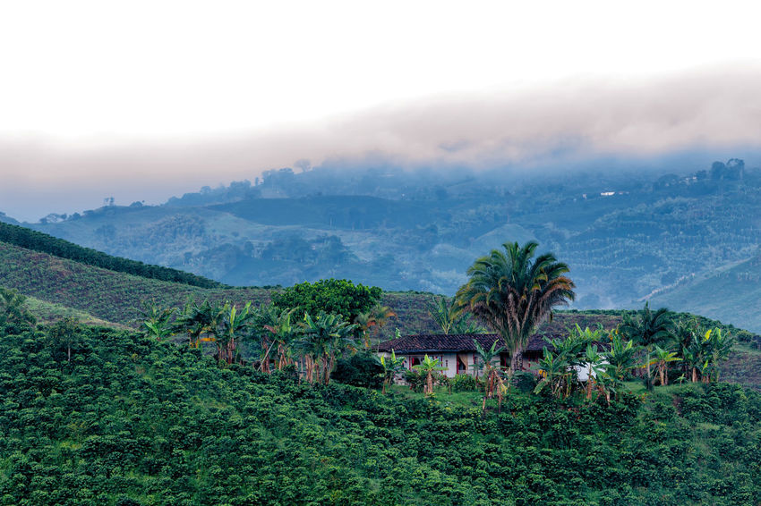 Beautiful view of a coffee plantation in the predawn light near Manizales, Colombia. Andes Caffeine Coffee Colombia Farm Latin Manizales Nature Plant South Travel America Arabica Bean Caldas Chinchina Colombian  Drink Landscape Mountain Organic Plantation Robusta Triangle Tropical
