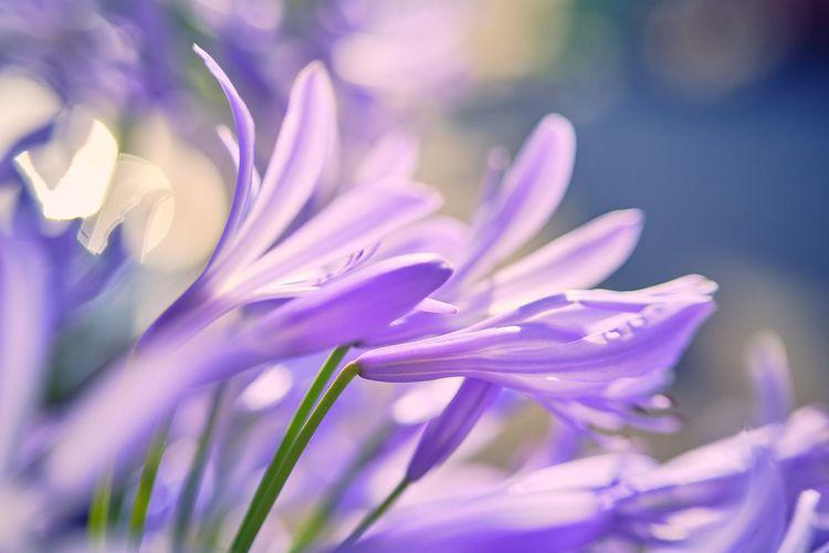 Close-up of pink crocus flower