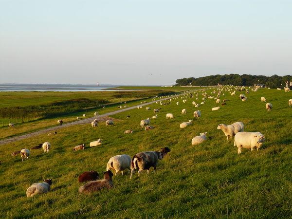 Dangast Deich  Landscape Livestock Nordseeküste Sheep