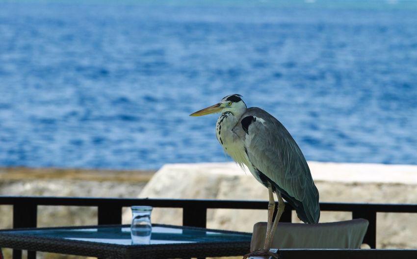 Bird Wildlife Animal Themes Sea Water Railing Focus On Foreground Blue Nature Tranquility Colour Of Life Taking Photos Eyeem 位于Maldives