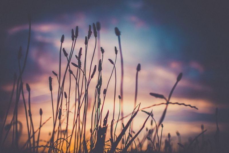 EyeEm Selects Caught in mid sway on a summer evening in faversham Kent Beauty can be found in simple things and complexities. EyeEm Selects Faversham Kent Sunset Nature Sky Beauty In Nature Field Silhouette Grass Close-up Scenics Outdoors Nikon Check This Out EyeEm Nature Lover Summer Colours Sun Autumn Mood