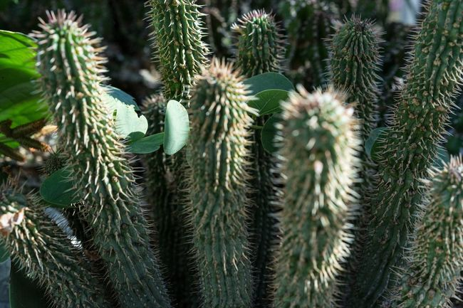 Hoodia Gordonii Cactus Hoodia Hoodia Gordonii Beauty In Nature Botanical Garden Close-up Day Freshness Full Frame Gordonii Green Color Growth Nature Needle Needle - Plant Part No People Outdoors Plant Succulent Thorn Tree