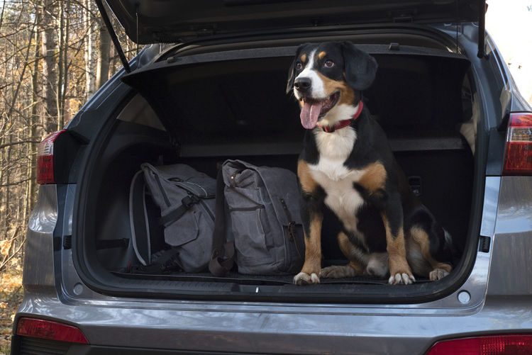 Entlebucher Mountain Dog sitting in the car. Autumn; Fall; Dog; Forest; Window; Animal; Nature; Car; Pet; Park; Green; Trees; Mammal; Wood; Cute; Road; Voyage; Trip; Vacation; Happy; Leaf; Breed; Autumn; Friends; Play; Path; Puppy; Domestic; Purebred; Black; Beautiful; Colours; Brown; Canino; Shephe Car One Animal Pets Motor Vehicle Dog Domestic Animals Domestic Canine Animal Animal Themes Land Vehicle Mammal Mode Of Transportation Vertebrate Transportation Sitting Day Travel No People Car Trunk