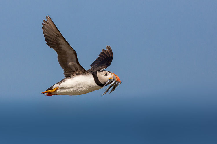 Low angle view of puffin flying while holding fish in beak against clear blue sky