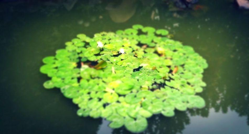 lotus in the rain #3gs