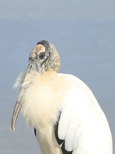 Good morning from an ancient man ;) Simple Quiet Love Wood Stork Jupiter37a Old Lens EyeEm Birds EyeEm Nature Lover Animal Wildlife One Animal Animals In The Wild Bird Close-up Nature