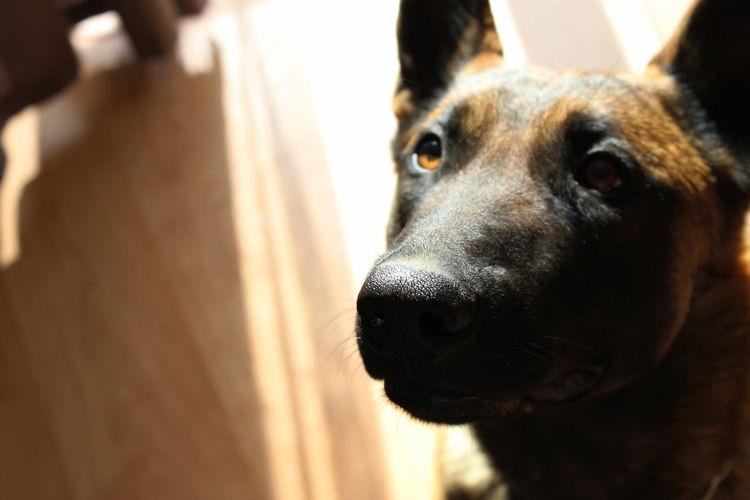 Belgium Shepherd Dog Dog Love Love Malinois Pets Portrait