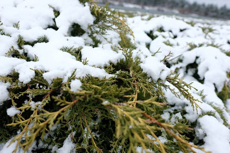 Snow Cold Temperature Winter Nature Weather White Color Frozen Outdoors Beauty In Nature Snowing Scenics Growth Day No People Spruce Tree Tree Close-up