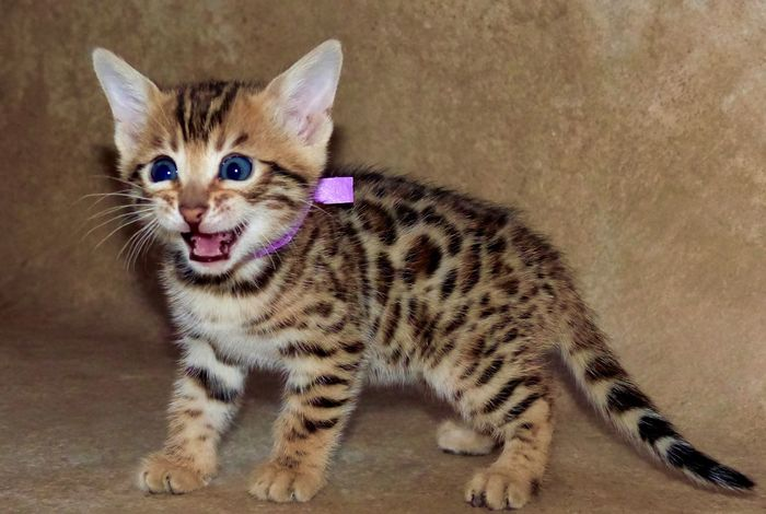 I won the internet? Panasonic  Rare Kitty Sweet Yeg Youtube Feline Feline Portraits Spotted Adorable Awww Aww Cute Crazyfunnycats66 CrazyFunnyCats Kitten Bengal Animal Themes One Animal Looking At Camera Domestic Cat Feline Portrait Mammal Pets Whisker No People Domestic Animals Indoors  Close-up