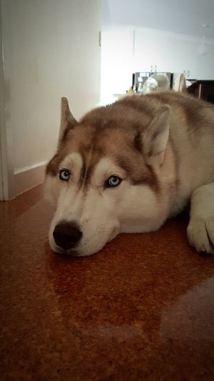 My world My World Siberian Husky Husky Puppy Relaxing I Love My Dog Beautiful Photogenicpuppy