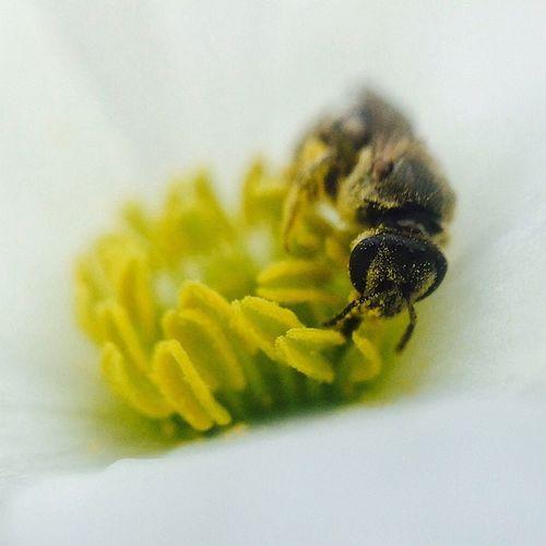 Hard working bee... IPSComposition IPhone 5S EyeEm Nature Lover Olloclip_macro Olloclip Macro Insect Photography IPS2016Closeup