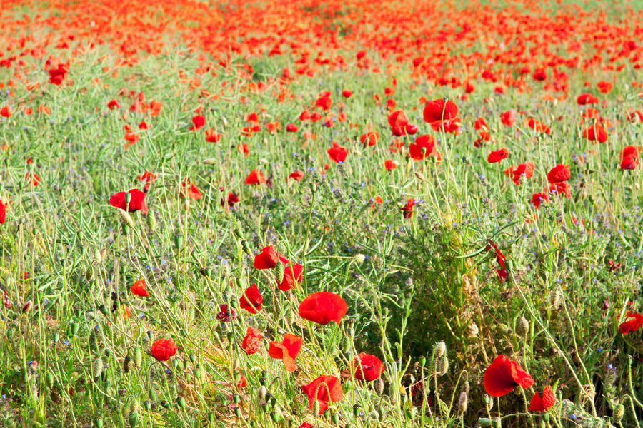 Poppy Field Beauty In Nature Close-up Day Flower Freshness Full Frame Grass Growth Nature No People Outdoors Poppies  Poppy Poppy And Wheat Field Poppy Field Red Wheat