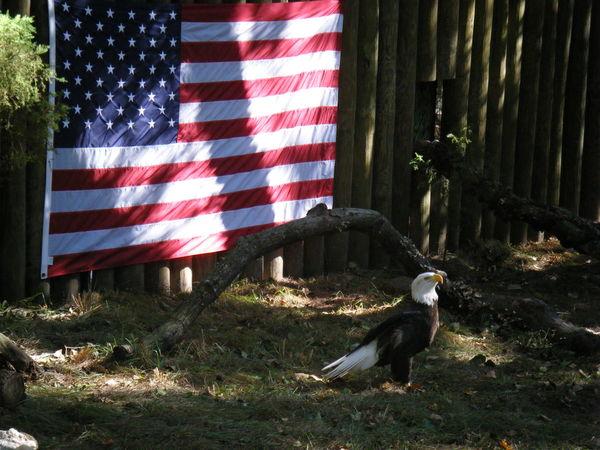 Eagle Bald Eagle Bird America American Red White Blue Brown Flag