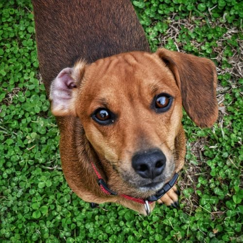Looking At Camera In The Yard Cute Weinie Dog Dachshund Pets Pet Dog Green Clover Dog Eyes