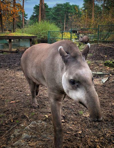 Tapir Animal