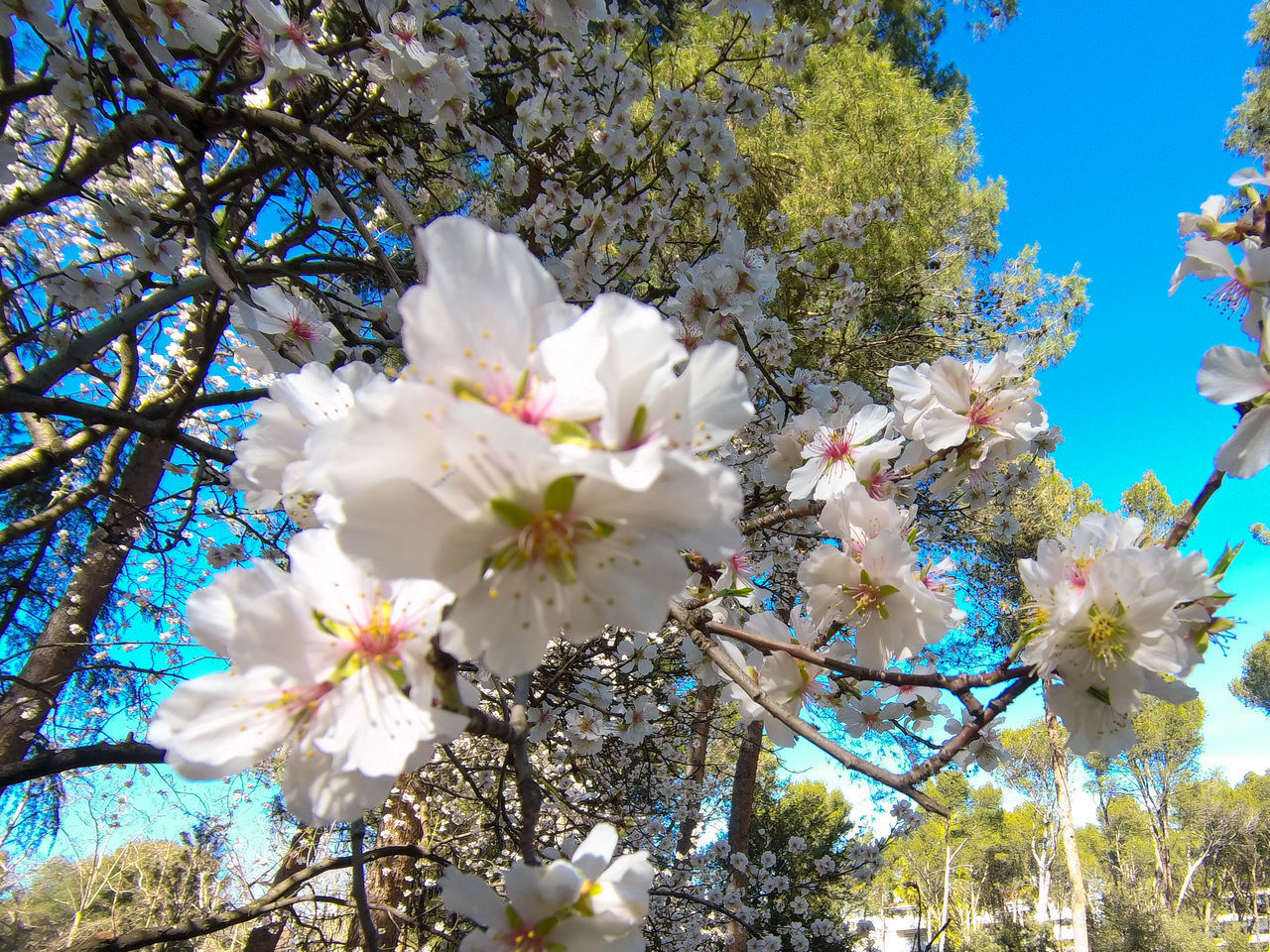 LOW ANGLE VIEW OF WHITE CHERRY BLOSSOM TREE