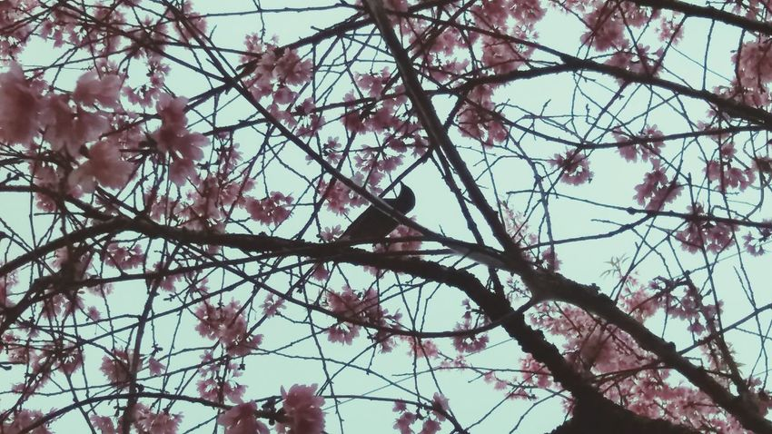Tree Branch Low Angle View Bird Nature Animals In The Wild Growth Outdoors No People Day Perching Beauty In Nature Animal Themes Springtime Flower Animal Wildlife Sky Fragility Bird Of Prey Birds Eye View Cherryblossomfestival Cherry Blossom Birdseyeview Birdseye View Birds_bees_flowers_n_trees