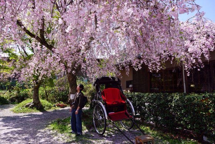 Kyoto Japan Arashiyama Sagano Cherry Blossom Sakura Flower Spring Jinrikisha 京都 日本 嵐山 嵯峨野 桜 人力車 春 花 友人撮影