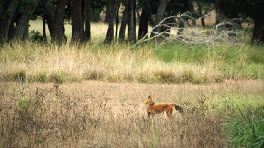 Wild Dog Dhole Into The Woods Animals In The Wild Nature Predator Wildlife Encounter