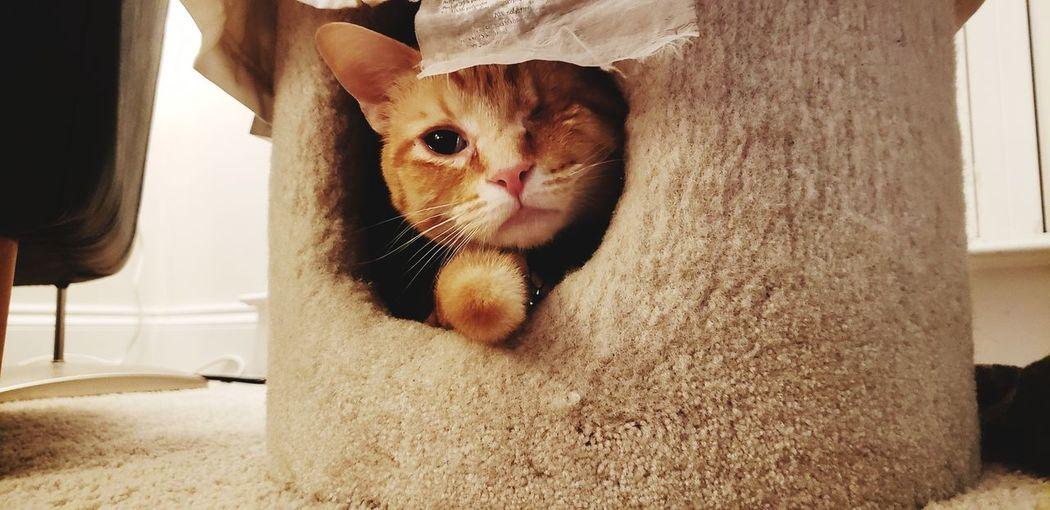 Peek a boo One Eyed Cat One Eyed Hiding One Eye Pets Domestic Cat Cat Feline Ginger Cat
