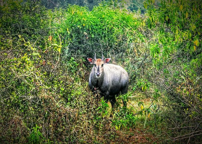 What I Value The Indian Wildlife a male Boselaphus Tragocamelus very Powerful And Dangerous about 6 ft upto shoulders In Sariska National Park Canon Eos 1100 D please Protect Animals