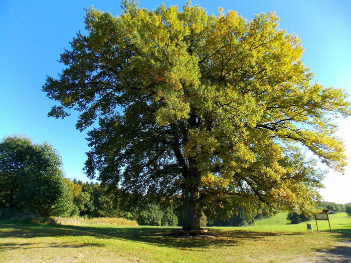 Stately large oak Stately Large Oak No People Day Tranquility Autumn Beauty In Nature Yellow Growth Outdoors Scenics Tree Nature Landscape Branch Sky