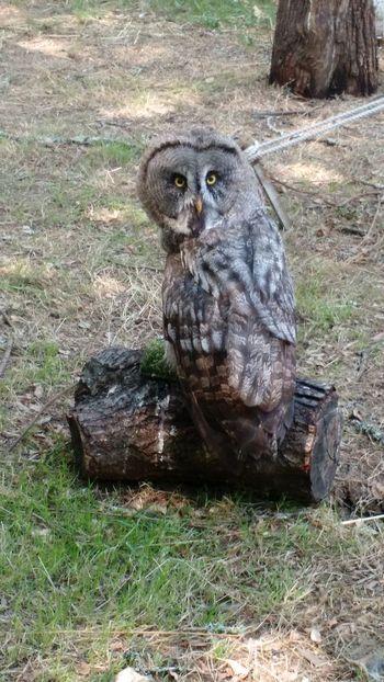 Owl Wisedom Medievalfair Portugal