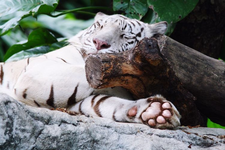 Whitetiger Sleeping Nap Time EyeEm Animal Lover Tiger