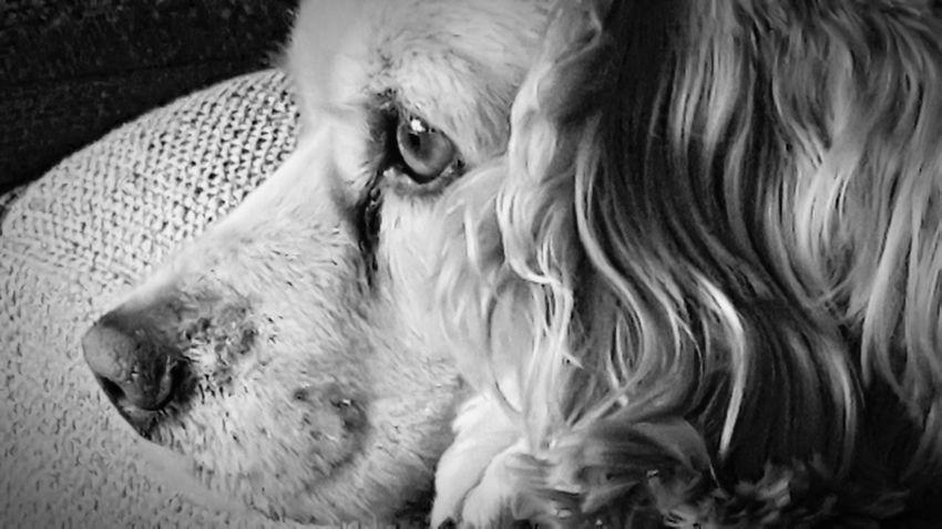 EyeEm Selects Pets Dog One Animal Domestic Animals Animal Themes Mammal Animal Hair Indoors  Home Interior Close-up No People Day Black & White Cocker Spaniel