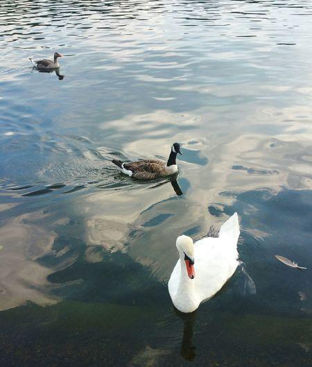 Swans Ducks Hydepark Serpentinelake Serpentine @hyde Park Lake Nature Park