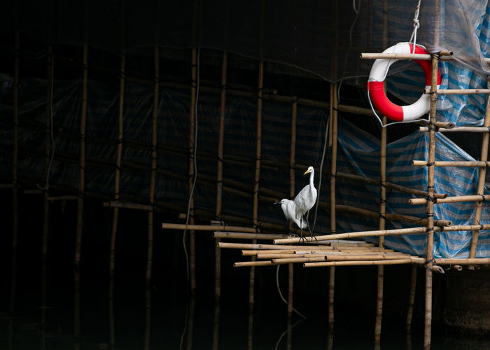 Egret chilling in the concrete jungle bamboo scaffolding in hong kong