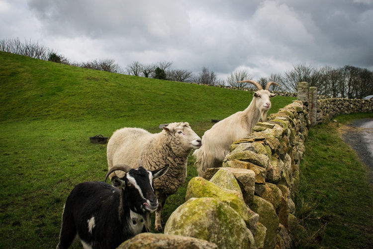 Sheep grazing in grass against sky